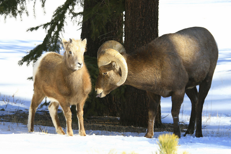A Big horn Ram and a lamb stay close to a tree in the Fall River Road area.