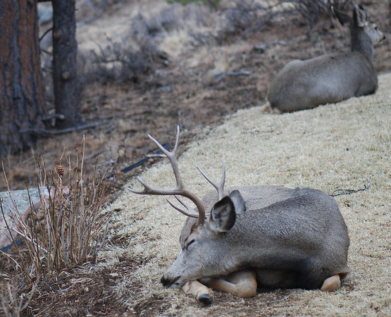 Sleeping prince.  A mule deer buck takes some time off from the hectic holiday season for a nap.
