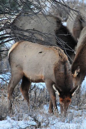 Walt Hester | Trail-Gazette<br /> A herd of elk ignors park visitors while grazing along Bear Lake Road on Sunday.