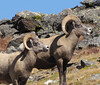 Bighorn sheep near Trail Ridge Road taken in August by Cindy McKee Brady of Oklahoma City and Estes Park.