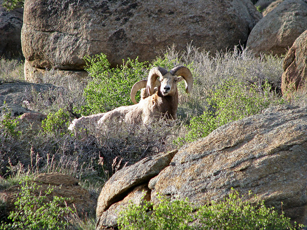 Two bighorn rams survey the country from their rocky perch.