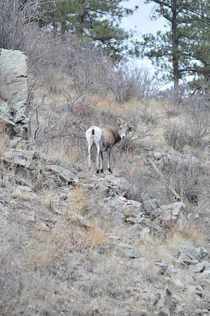 Walt Hester | Trail-Gazette<br /> An adult female bighorn sheep peers down at passeres-by from above US 34 on Thursday. While a small herd of ewes and kids were seen above the road west of Drake, a larger herd including several rams lounged along the canyon slopes further east.