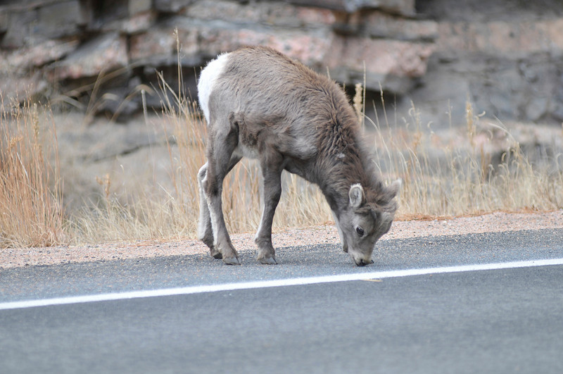 Walt Hester | Trail-Gazette<br /> A bighorn kid licks the pavement of US 36 just above Drake on Thursday. It is commen to see the sure-footed creatures taking to the level highway to lick minerals from the road serface.