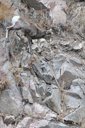 Walt Hester   Trail-Gazette<br /> A bighorn kid looks for a path to descend above US36 on Thursday. With the onset of Winter, bighorn herds are moving lower to find food on the mountain sides near Estes Park.