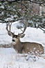 Walt Hester | Trail-Gazette<br /> A big buck deer rests under a tree above Prospect Estates on Wednesday. Many animals spend most of the winter eating or not expending energy as much as possible.