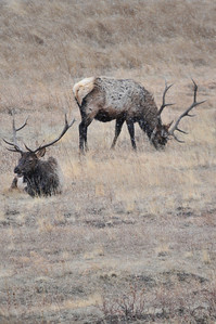 Walt Hester | Trail-Gazette A pair of bull elk graze and relax as snow begins to fall near the Fall River on Wednesday. Snow is in the forcats until Sunday, then reappears Sunday.