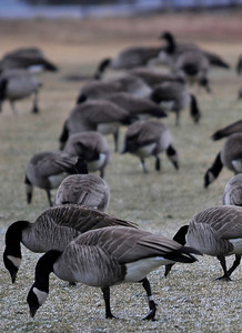 Walt Hester | Trail-Gazette A flock of geese pick at the Stanley Ball Field on Wednesday. Usually migratory, these Canada geese have chosen to tough out the cold and make their home in Estes Park.