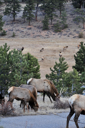 Walt Hester | Trail-Gazette<br /> A large elk herd stretches out to graze on both sides of Carriage Drive.