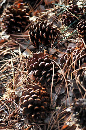 Walt Hester | Trail-Gazette<br /> Needles and cones catch afternoon light along Wispering Pines Drive on Sunday.
