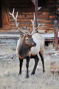 Walt Hester | Trail-Gazette A young bull elk watches visitors come and go at Elkhorn Lodge on Sunday.