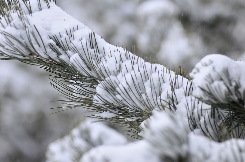 Walt Hester | Trail Gazette<br /> New snow covers trees in Carriage Hills on Tuesday morning. The latest Arctic blast dropped snow and temperatures both in Estes Park and in the Front Range.