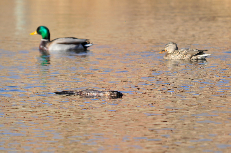 Walt Hester | Trail Gazette<br /> Ducks drift past a muskrat in a pond near Lakeshore Drive on Friday. The large rodents are more closely related to lemmings and voles than true rats.