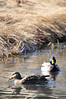 Walt Hester | Trail Gazette<br /> A pair of ducks paddle across a newly-thawed pond in Carriage Hills on Friday. While considered migratoy, mallards can be seen in the area year-round, as opposed to red-winged blackbirds, which  have made their return to Estes Park.