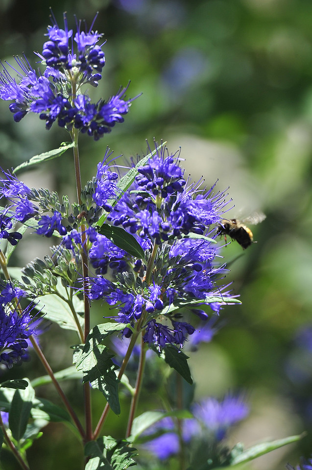 A bee collects and redistributes pollen among flowers along the Fall River in Estes Park on Wednesday. With many late-season blooms, the bees are keeping busy.