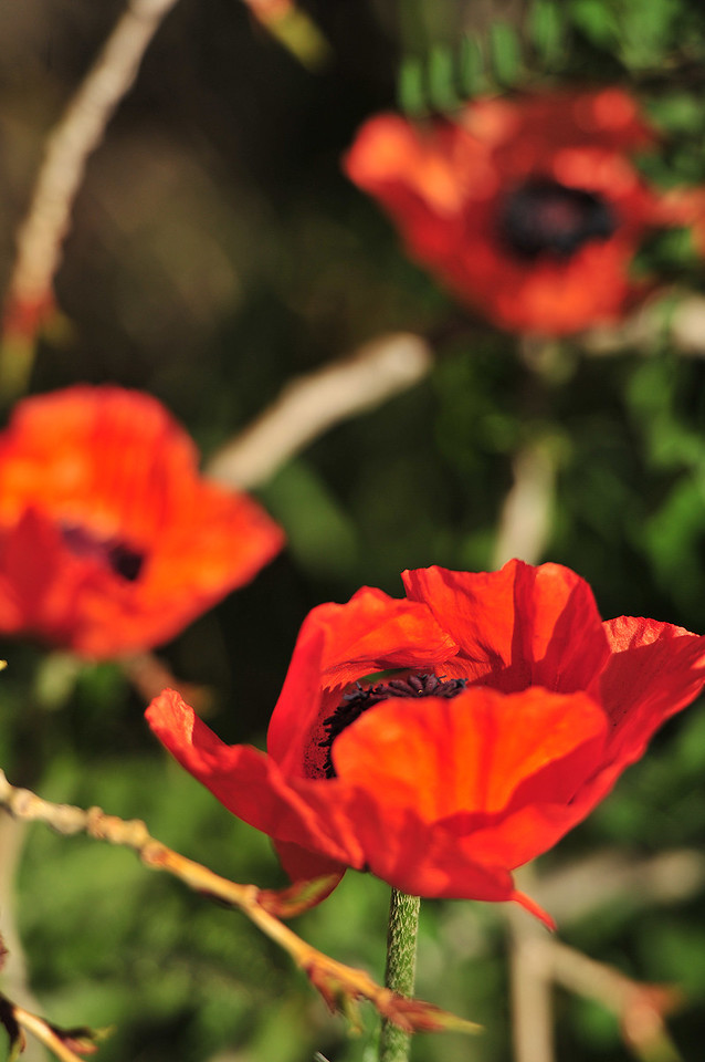 Bright red-orange poppies bloom along Moraine Avenue on Wednesday.