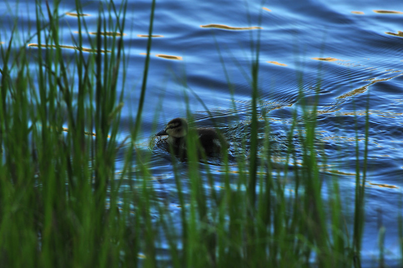 A duckling paddles along the shoreline of Sprague Lake on Tuesday. The tiny water faul stuck close to its parents, a pair of mallards.