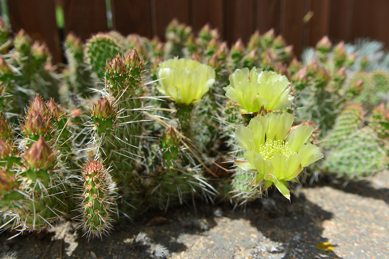 A cactus blooms near Virginia Drive on Wednesday. Though rare, there are several varieties of cacti around Estes Park.