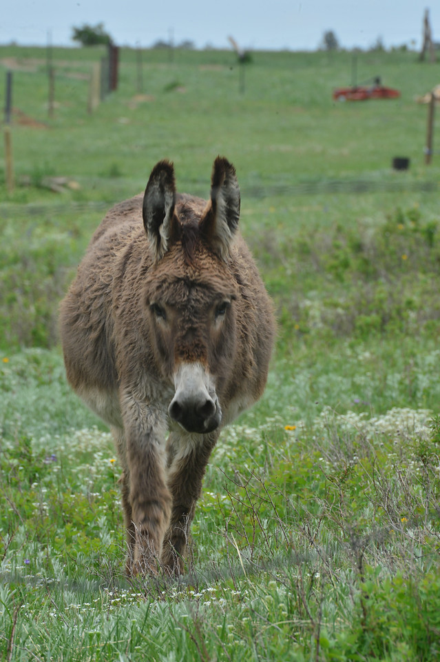 A donkey saunters across a meadow on Storm Mountain on Monday. The surprizing area above Drake is home to many domesticated animals, as well as around 300 homes.