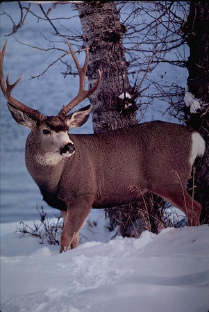 Mule deer are among the animals to call Rocky Mountain National Park home.
