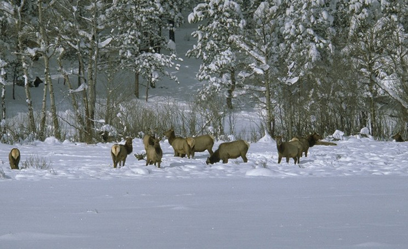 Elk forage through the snow in Rocky Mountain National Park looking for food.