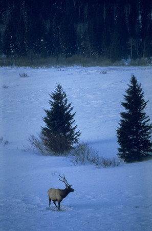 A lone bull elk moves across a snowy opening in Rocky Mountain National Park.