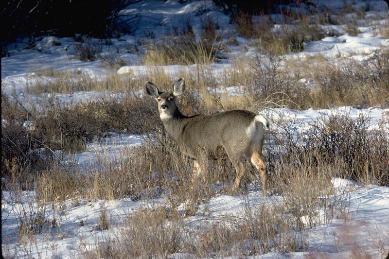 A mule deer doe keeps a wary eye on the photographer.