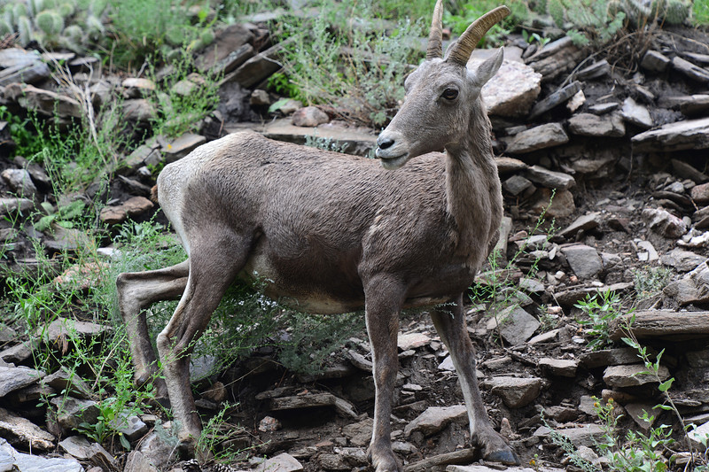 A bighorn sheep watches interested vistors in the Big Thompson Canyon on Saturday. The ungulates cling to the rocky canyon walls where preditors can't follow.