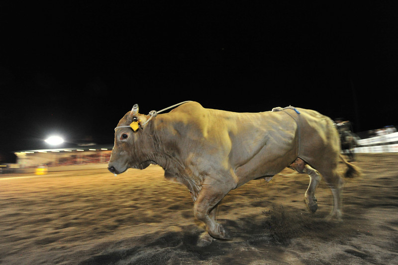 A big, riderless bull makes its way back to its pen on Thursday. On three nights, the bulls dislodged all of their riders.