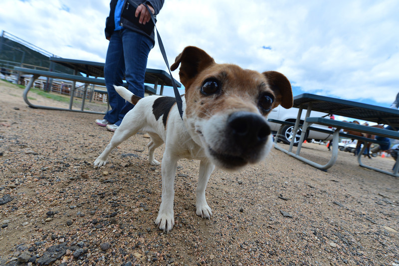 A Jack Russel terrior investigates a photographer at the Stanley Fairgrounds on Saturday.