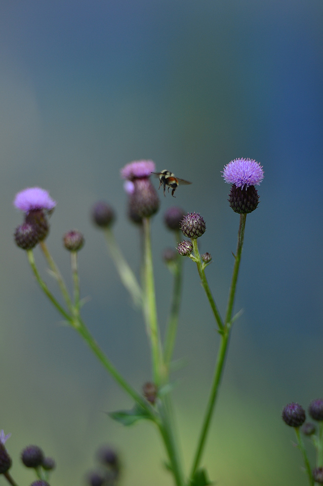 A bee buzzues from one thistle bloom to another near Hwy 7 on Sunday.