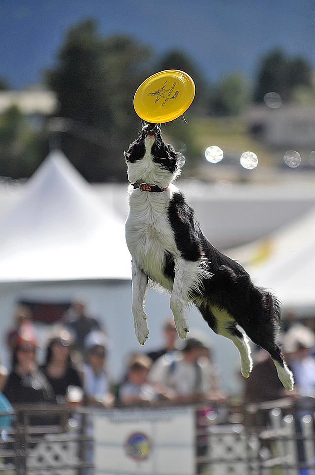 Photo by Walt Hester<br /> Maggie, a boarder collie with the Total Performance Disc Dogs leaps for a flying disc during a demonstration at the Longs Peak Scottish-Irish Highland Festival on Sunday. The annual three-day event celebrating Celtic heritage was expected to attract as many as 80,000 visitors from all over the world.