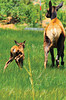 Too cute A days-old calf chases mom through a meadow along S. St. Vrain Avenue on Saturday. Photo by Walt Hester
