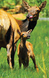 A mother elk and her calf look around the marshy meadow along Carriage Drive on Saturday. Photo by Walt Hester.