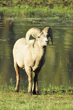 A day at the lake A bighorn ram munches grass at the Sheep Lakes in Horseshoe Park on Thursday. Photo by Walt Hester