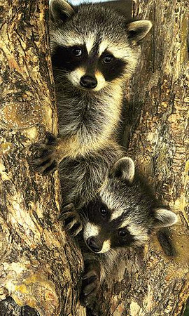 Cuteness in Pairs A pair of raccoon kits climb a tree in Lower Stanley Village on Thursday. While the mother raccoon was not in sight, one need always be cautious when encountering young wildlife, as mothers are aggressive when defending their young. Photo by Walt Hester