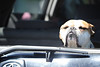 Walt Hester | Trail Gazette<br /> A bulldog enjoys some sunshine out the back of an SUV on Friday. Wednesday could bring rain to Estes Park with sunshine and warmthreturning Thursday.