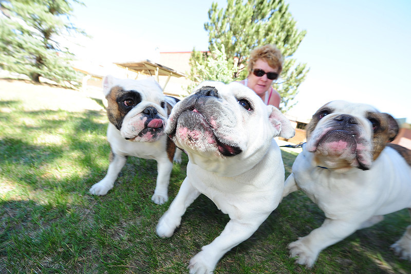 Walt Hester | Trail Gazette<br /> Rambunctious bulldogs Angelica, Daphne and Neville add some excitement to the afternoon for owner Fiona Kahill at the Estes Park High School on Sunday.