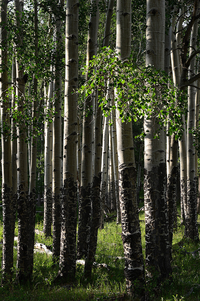 Walt Hester | Trail Gazette<br /> Aspens bathe in soft evening light on Wednesday in Endovalley. While not as popular in summer, the tree attract visitors from throughout the Front Range and the nation when the foliage changes for fall.