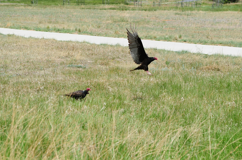 Walt Hester | Trail Gazette<br /> Vultures take flight after nibbling an unfortunated rodent along Carriage Drive on Saturday. The large birds won't pick up pets, unless they are already expired.