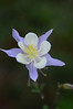 Walt Hester | Trail Gazette<br /> A columbine opens up in Carriage Hills on Tuesday. The colorful blooms are the official flower of Colorado.