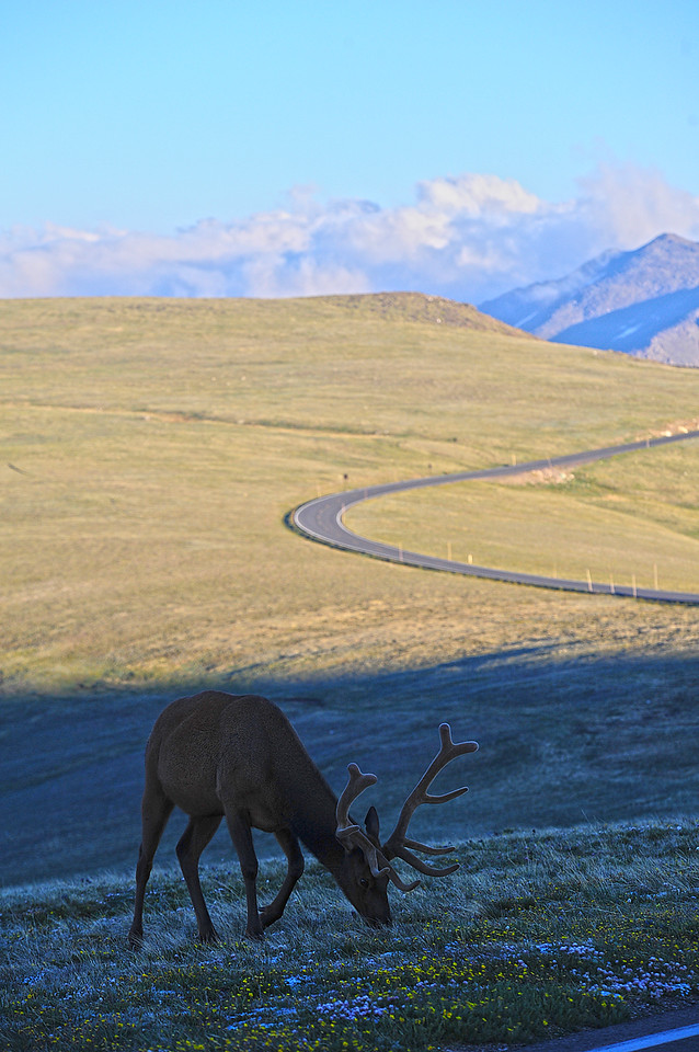 Walt Hester | Trail Gazette<br /> A velvety bull nibbles grass and wildflowers along Trail Ridge Road on Wednesday. A small herd of the bachelor bulls roam the high ridge during summer.