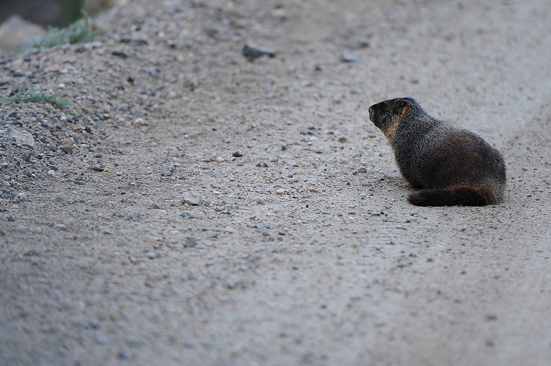 Walt Hester | Trail Gazette<br /> A marmot sits in the middle of the Old Fall River Road on Wednesday. The rodent was trying to absorb minerals from the road, recently opened to motor traffic for the summer.