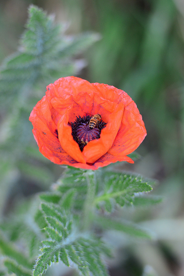 Walt Hester | Trail Gazette<br /> A lands in a poppy along Moraine Avenue last week. The big blooms are a sign of summer in Estes Park.