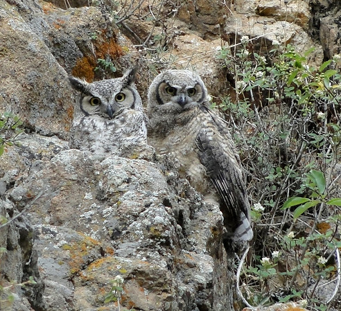 A great horn owlet perches on rocks near its nest with its mother.