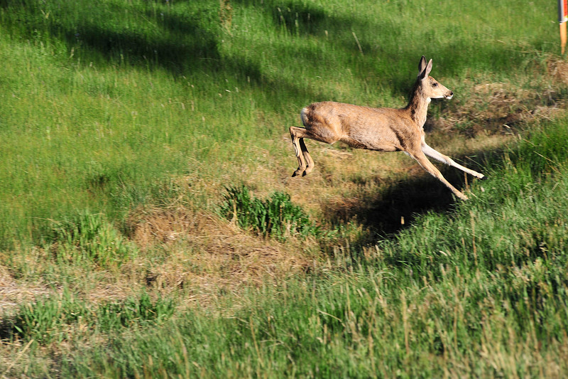 Walt Hester | Trail Gazette<br /> A deer bounds over a small gully along South St. Vrain Avenue on Sunday. Wildlife abounds in Estes Park to the delight of visitors, though often making drivers nervous.