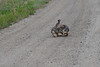 Walt Hester | Trail Gazette<br /> Rabbits seem to tustle on Spruce Lane in Carriage Hills on Tuesday.