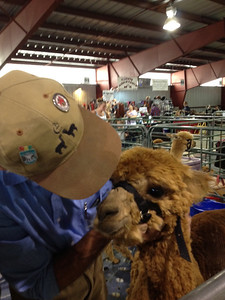 A handler adjusts the halter on an alpaca Saturday. The annual alpaca show is being held at the Fairgrounds at Stanley Park over the Labor Day weekend.