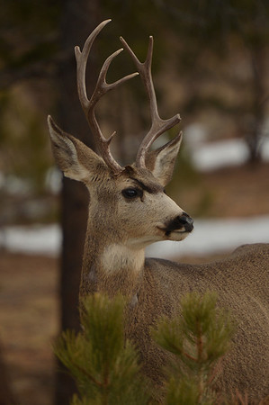 A buck watches traffic on Deer Ridge Junction on Wednesday. The slightly uneven rack does not seem to bother this male, at least while searching for winter food.