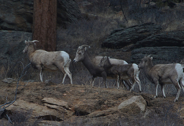 A small flock of bighorn sheep work their way along a slop above Fall River Road on Tuesday. The sheep will graze on lower slopes while temperatures are cooler, untill snow at the higher elevations melts off.