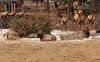 Elk lounge about and graze in yards along South St. Vrain Avenue on Thursday. During winter, Elk, like most animals, are try to fand and concerve as much energy as possible in order to survive until spring.